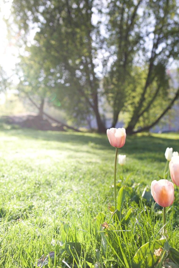 morning tulip (1 of 1)