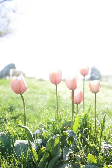 morning tulip2 (1 of 1)
