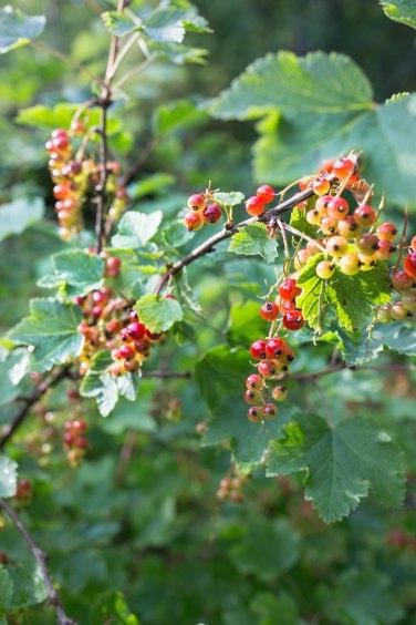 berries (1 of 1)