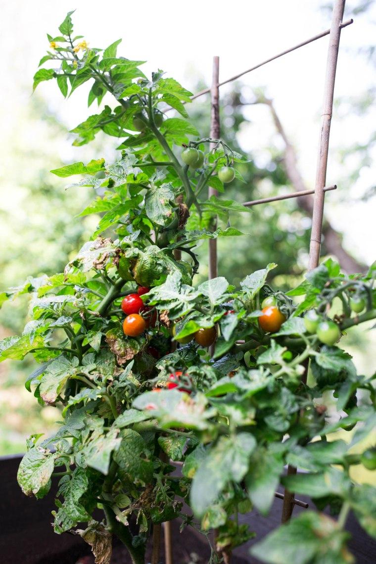 tomatos (1 of 1)