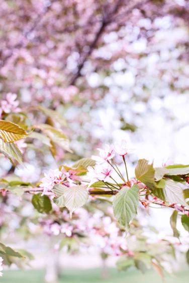 cherry trees4 (1 of 1)